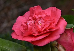 Weekend Camellia (Eleanor (No multiple invites please)) Tags: camellia pinkflower garden stanmore uk nikond7200 march2018
