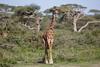How are giraffe so elegant? (Ring a Ding Ding) Tags: africa animal giraffacamelopardalistippelskirchii maasaigiraffe ndutu nomad serengeti tanzania bokeh elegant giraffe herd mammal nature pair safari walking wildlife woodland arusharegion ngc