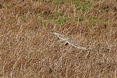 Short-eared owl (Asio flammeus) (bramblejungle) Tags: shorteared owl bird asio flammeus