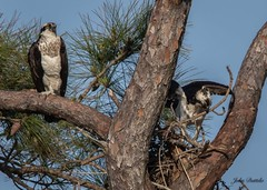 Pre-fight jitters (flintframer) Tags: raptors osprey breeding pair nesting ft pickens florida usa america wow dattilo nature birds wildlife building pine trees canon eos 7d markii ef600mm 14x