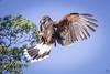The Catch 4 (Sonoran Harris Hawk) (lycheng99) Tags: sonoran harris hawk sonoranharrishawk wildlife birdinflight bird birds birdsofprey nature eyes flight fly wings motion