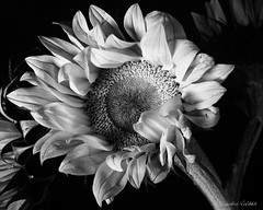 - Sunflower Chiaroscuro - (claudiov958) Tags: 4x5 biancoenero blackwhite blancoynegro bw černýabílý claudiovaldés czarnyibiały film girasol largeformat noiretblanc pretoebranco schwarzundweiss sinaronws210156sinarf2 studio sunflower tabletopbiancoenero черноеибелое sinarp2 camerasinarp2largeformatlenssinarons210mmf56filmilfordfp4plusdevelopedindiafine ilfordfp4plus diafine selfdeveloped ngc