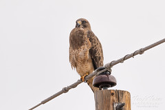 First Swainson's Hawk of the season