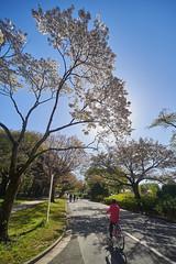 _DSC6133 (tohru_nishimura) Tags: nikond610 sigma12244556 nikon higashikoganei koganeikoen tokyo japan