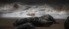 Seagull Seal Patrol - Horsey Gap (p.g604) Tags: horseygap norfolk seals 20180407imgp0968 seagull seal patrol horsey gap