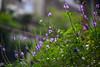 紫散 (moseskim27) Tags: meyeroptikgorlitz58mmf19 m42 taiwan f19 zhubei primoplan flower germany 竹北 purple