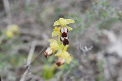 Ophrys gr. fusca (esta_ahi) Tags: serragavatxa ophrysgrfusca ophrys fusca orquídea orquídeas silvestres flor flora flores orchidaceae mediona penedès barcelona spain españa испания