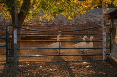 Small farm along irrigation canal in Mesilla, NM (tconelly) Tags: panasonicg85 panasonic1240mmf28prolens november2017 farm agriculture mesilla irrigation canal