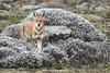 www.paolomeroni.com - Ethiopian wolf (www.paolomeroni.com) Tags: ethiopian wolf ethiopia etiopia canis simensis bale mountains national park sanetti plateau flowers subadult wildlifephotography wwwpaolomeronicom abyssinian horn africa eastern
