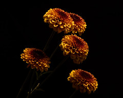 Autumn Mum Group 1117 (Tjerger) Tags: nature flower flowers bloom blooms blooming plant natural flora blackbackground portrait beautiful beauty black fall wisconsin macro closeup yellow autumn brown purple mum