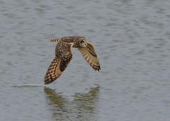 Wing dipping (Kees499  Nature pics) Tags: shortearedowl keesmolenaar velduil water dipping nature birdofprey bif d500 nikon lightroom holland uil afs 500 f4 vr afs500f4vr