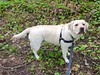 Gracie looking at me (walneylad) Tags: gracie dog canine pet puppy cute lab labrador labradorretriever april spring morning westlynn