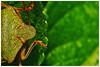 Green Shieldbug. (vegetus aer) Tags: raveleywood wildlifetrust bcnwildlifetrust cambridgeshire wildlife greenshieldbug green shieldbug a77m2 sigma 105mm macro