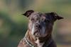 Staffordshire Bull Terrier (Nereus[GER]) Tags: canoneos80d canon300mmf4 nereusger smerlot saarland staffordshire bull terrier hund kampfhund
