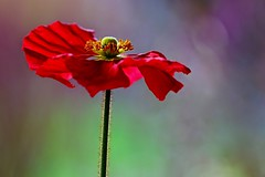 Poppy in full bloom (sylviafurrer) Tags: mohnblume rot red poppy frühling springtime blüte blume flower gegenlicht