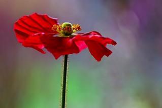 Poppy in full bloom