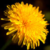 365.109 & 100x.21 - Pretty menace (AmyGStubbs) Tags: 100xthe2018edition 100x2018 19apr18 2018 365the2018edition 3652018 dandelion day109365 e30 garden image21100 olympus sigma105mmf28exdgmacrofourthirds spring flower