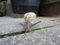 Garden Snail, Upper Cwmbran 22 April 2018 (Cold War Warrior) Tags: snail helix aspersa cwmbran