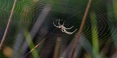 In the spotlight (AndyorDij) Tags: spidersweb spider argiopidae araneae web england empingham rutland uk unitedkingdom andrewdejardin spring 2018