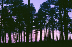 untitled neon forest (Dandy's Warden) Tags: 35mm expiredfilm olympusmjuii mjuii film analogue filmisnotdead purple pink neon forest woods trees kodak kodakgold travel filmphotography buyfilmnotmegapixels nature landscape dawn colour cinematic