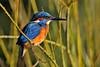 Eisvogel (Michael Döring - thx 4 16 million views) Tags: gelsenkirchen bismarck zoomerlebniswelt zoo eisvogel kingfisher tc20eiii afs600mm40e d850 michaeldöring