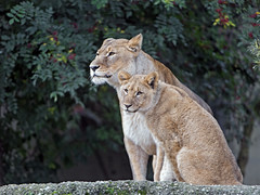 Mother and daughter (Tambako the Jaguar) Tags: lion big wild cat female young mother sitting posing rock stone trees basel zoo switzerland nikon d5