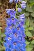 Delph (Dragonsilk) Tags: blue delphinium longwoodgardens conservatory garden