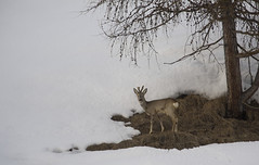 Be careful to dine (quanuaua) Tags: ifttt 500px winter frozen snowy snow covered livigno roe deer capriolo mammals ruminant wildlife wild animals pics photos nature wildphotography naturephotography alps alpine