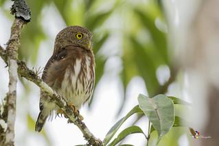 Central American Pygmy-Owl
