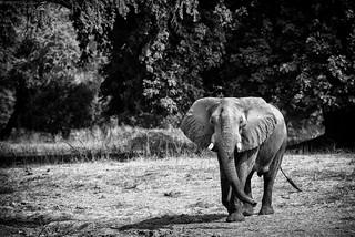 Zim Elephant