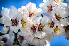 Almond Blossom (MarkC333) Tags: almondtrees almondblossom almondflowers lasalpujarras pollen flower