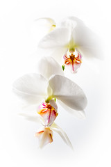 Orchids (alanrharris53) Tags: orchid flower flash macro indoors light highkey