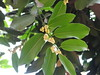 Diospyros malabarica_Jijamata Udyan3 (Alka Khare) Tags: diospyros ebenaceae