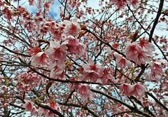 Parque Hatonomori (Conexão Selvagem) Tags: shiga hatonomori japan flores flower flora umê mume branca rosa parque alinepatriciahorikawa