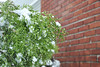 Nor'easter 4-9 (pepsigirl917) Tags: bush plant green red brick storm ice noreaster