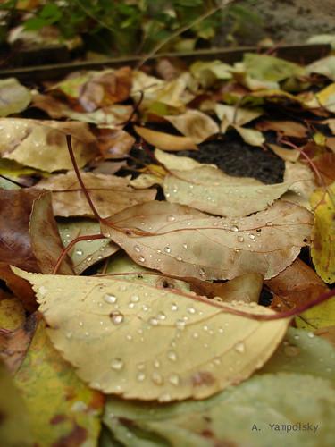 Капли на листьях ©  ayampolsky