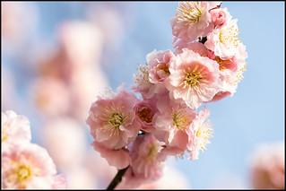 Springtime Sakura Saturation
