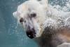 Swim (Lazy Pixel) Tags: nature animal underwater closeup portrait polarbear