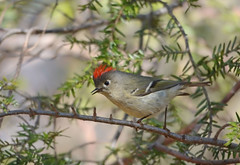 Ruby-crowned Kinglet (av8s) Tags: rubycrownedkinglet kinglet birds perchingbirds songbirds nature wildlife pennsylvania pa photography nikon d7100 sigma 120400mm