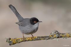 _SEN7352-E3 (Sento74) Tags: currucacabecinegra sylviamelanocephala aves birds fauna nikond500 tamron150600g2 ngc