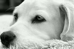 7DWF...Theme...B/W (Sue (away for a while) Armsby) Tags: 7dwf sadie sunshine bw dog pet pretty labbeagle