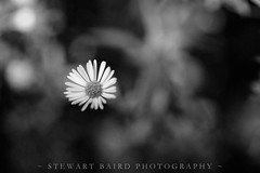 Daisy (stewartbaird) Tags: flowersplants blackandwhite daisy macro fall monochrome flower