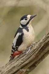Greater Spotted Woodpecker (http://www.richardfoxphotography.com) Tags: greaterspottedwoodpecker wildbirds bird birds woodpecker devon