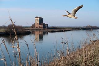Oca selvatica in volo sulle saline di Comacchio
