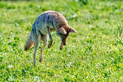Leaping Wile E. (lennycarl08) Tags: coyote wildlife contracostacounty alhambravalley northerncalifornia eastbay a9