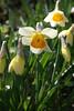 Mainz, Am Drususwall, Narzissen / daffodils (narcissus) (HEN-Magonza) Tags: mainz rheinlandpfalz rhinelandpalatinate deutschland germany amdrususwall frühling springtime flora narzisse daffodil narcissus