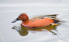 Cinnamon Teal with Bling (Noble Bunny) Tags: cinnamon teal duck drake waterfowl red banded tagged ridgefield national wildlife refuge nature reserve washington state pacific northwest nw pond lake bird