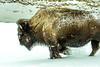 Yellowstone NP Trip - Day 5 (40) (tommaync) Tags: yellowstonenationalpark yellowstone yellowstonenp national park nationalpark february 2018 winter nikon d7500 wyoming bison horns animal wildlife snow