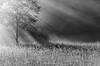 Aura (Aaron Springer) Tags: michigan northernmichigan tree fog sunbeams monochrome blackandwhite outdoor nature landscape