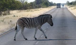 Plains Zebra  (6)